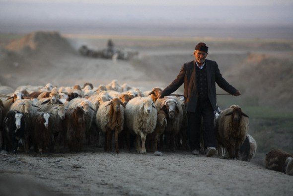 Iranian Shepherd Leading His Flock Home